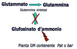 Schema di azione dell'erbicida glufosinato d'ammonio in una pianta GM