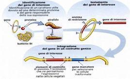 Schema dell'attività insetticida della tossina
