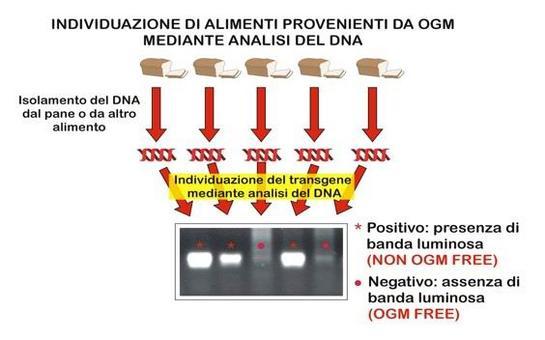 Individuazione di alimenti contenenti frammenti GM mediante PCR