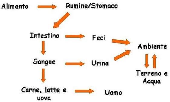 Schema del destino del DNA di origine alimentare nell'organismo umano/animale
