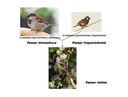 Fonti Wikipedia: Passer domesticus, Passer hispaniolensis  , Passer italiae.