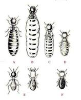 La speciazione simpatrica – Polimorfismo. Fonte: Wikipedia