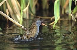 Porciglione (Rallus aquaticus). Fonte:Wikipedia