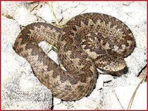Vipera di Orsini (Vipera ursinii). Fonte: Wapedia