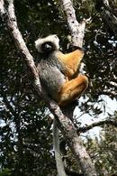 Lemuri. Fonte Wikipedia