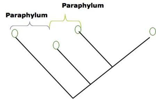 Un paraphylum comprende non tutti gli elementi derivati da un antenato comune, ma non esclusivo.