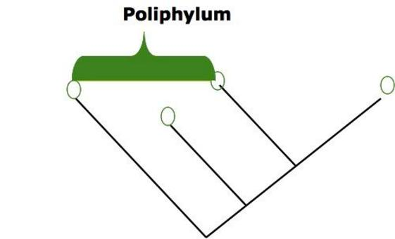Un poliphylum comprende elementi che hanno in comune caratteri acquisti per convergenze, ma non hanno un antenato comune.