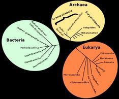 Esempio di relazioni filetiche in un monophylum. Fonte  Wikipedia.