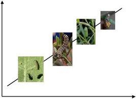 Stadi del ciclo vitale di una farfalla = semaforonti. Fonte  Wikipedia.