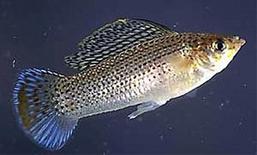 Poecilia latipinna. Fonte  Wikipedia.
