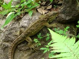 Sphenodon punctatus. Fonte  Wikipedia.