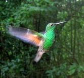 Colibrì verde maschio. Fonte  Wikipedia.