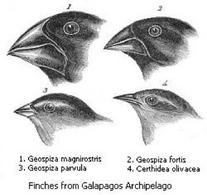 Emberizidae. Fonte  Wikipedia .