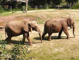 Elefante africano a sinistra e asiatico a destra. Fonte Wikipedia.