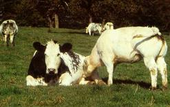 Vacca con vitello di razza Blanc-Bleu Belga. Fonte:  Agraria..
