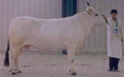 Vacca di razza Romagnola. Fonte:  Agraria.