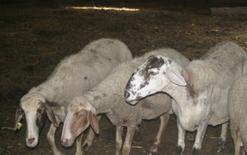 Pecore allevate nell'azienda in oggetto.