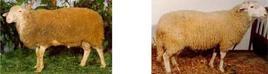 Maschio e femmina. Fonte: Associazione Nazionale della Pastorizia.