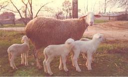 Femmina con agnelli. Fonte: Agraria.