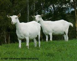 Saanen. Fonte: Oklahoma State University.