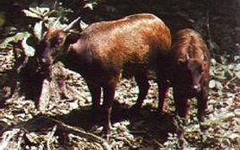 Anoa. Fonte: Wikipedia