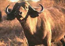 Bufalo cafro. Fonte: ANASB.