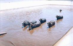 Vasche per il raffrescamento delle bufale.