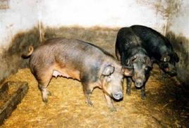 Suini di razza mora romagnola. Fonte: Agraria.