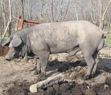 Verro di razza Casertana. Fonte: Agraria.