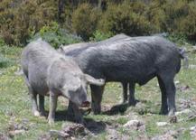 Suini di razza Sarda. Fonte: Agraria.