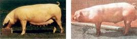 Scrofa e verro di razza Landrace. Fonte: Agraria.