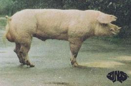 Verro di razza Landrace Belga. Fonte: Agraria.