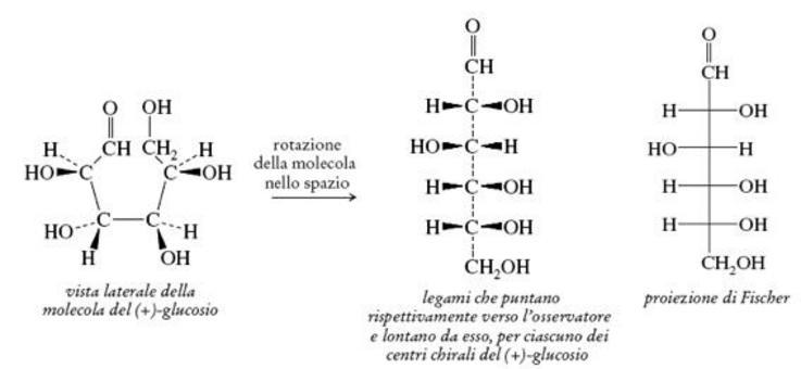 Proiezioni di Fischer del glucosio. Operiamo nello stesso modo anche per la molecola del (+)-glucosio. Fonte: Seyhan Eğe, La Chimica Organica Essenziale, Idelson-Gnocchi, 2008