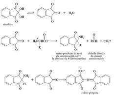 Meccanismo della ninidrina. Fonte: Seyhan Eğe, La Chimica Organica Essenziale, Idelson-Gnocchi, 2008