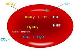 Ruolo del globulo rosso nel recupero del bicarbonato