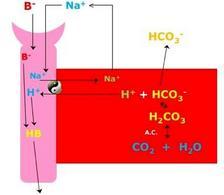 Ruolo della cellula tubulare prossimale nell'eliminazione di acidi