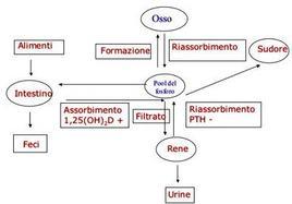 Omeostasi del Fosforo