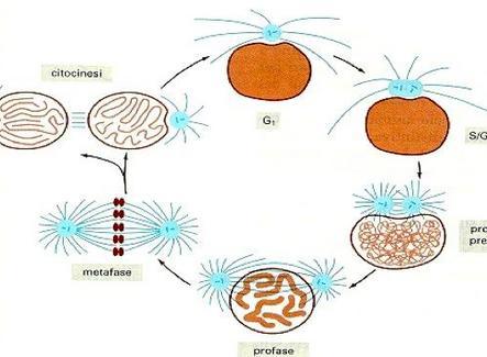 Ciclo del centrosoma