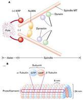 (A) Formazione dei microtubuli del fuso a partire dal centriolo. (B) Organizzazione strutturale di un microtubulo