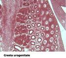 Cresta urogenitale
