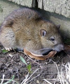 Rattus Norvegicus. Fonte: Wikimedia commons