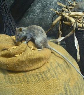 Rattus Rattus. Fonte: Wikimedia commons