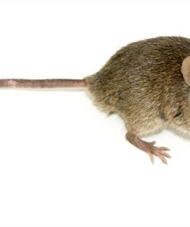 Mus Musculus Domesticus. Fonte: Wikimedia commons