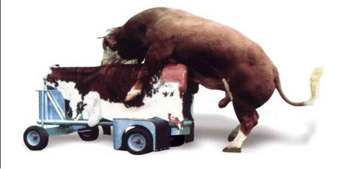 Manichino bovino.