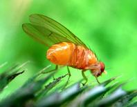 Drosophila melanogaster. Fonte: Wikimedia