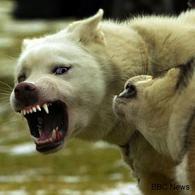 Cani che combattono. Fonte: Astrovet.blogspot.com