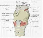 La laringe. Fonte Wikipedia.