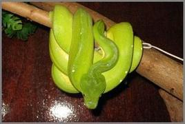 Esemplare di Morelia viridis