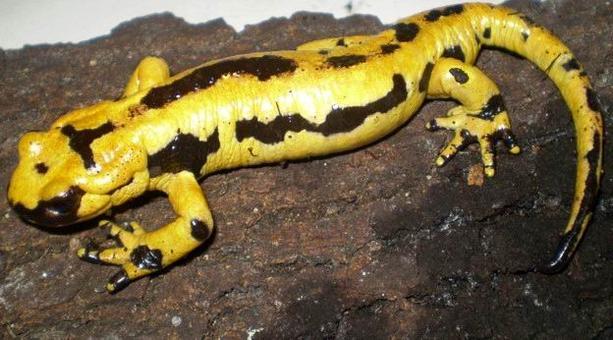Esemplare di Salamandra salamandra.
