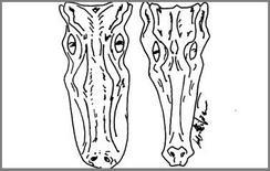 Proiezione dorsale della testa di un coccodrillo (dx) e di un alligatore (sx).